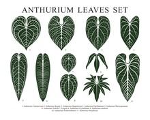 Vintage Vector Botanical Illustration, Tropical Exotic Plant, Jungle Foliage, Anthurium Leaves Set Isolated On King Of Anthurium White Background.