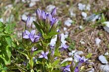 Charaktersytyczna Dla Flory Alp Goryczka Wettsteina (Gentianella Germanica)