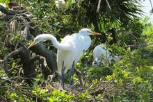 Great White Herons In The Nest