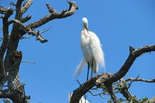 Great White Heron On Branch On Blue Sky Background