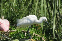 Great White Egret Hunting Near The Pond
