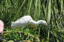 White Great Egret Hunts Near The Pond