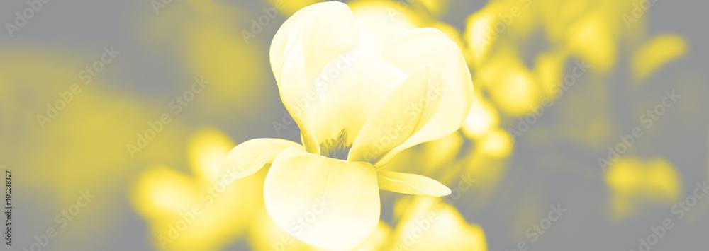 Fototapeta Beautiful close up magnolia flowers. Blooming magnolia tree in the spring. Selective focus. Visualization trendy colors of year 2021 - Gray and Yellow.