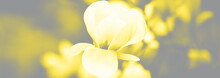 Beautiful Close Up Magnolia Flowers. Blooming Magnolia Tree In The Spring. Selective Focus. Visualization Trendy Colors Of Year 2021 - Gray And Yellow.