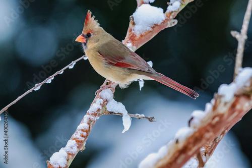Fotografija Female Cardinal