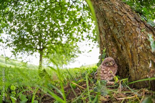 Foto Little Owl - Steinkauz - Athene noctua ssp