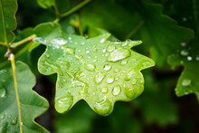 Water Drop On Green Oak (Quercus) Leaf