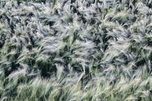 Ukraine, Dnepropetrovsk Region, Dnepropetrovsk City, Ears Of Wheat