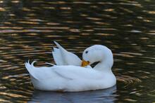 Portrait Of A White Duck On A Creek Preening Itself