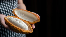 Woman Hand Holding Cutted Cocoa Pod With Beans Inside. Fresh Cacao At Plantation.