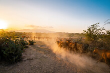 Yellow Cows Walking On Dusty Road At Sunset In Phan Rang, Viet Nam