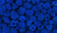 Harvested Blue Raspberries.