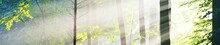 Panoramic View Of The Majestic Green Deciduous And Pine Forest In A Morning Fog. Tree Silhouettes. Sun Rays, Pure Sunlight. Atmospheric Dreamlike Summer Landscape. Nature, Ecology, Fantasy, Fairytale