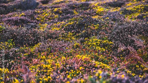 Valokuvatapetti Yellow gorse and heather moorland in autumn, close-up