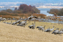 Dancing Cranes On A Field By A Lake In The Spring