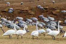 Whooper Swans On A Field With Cranes