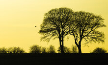 Silhouette Of Oak Trees In Winter Against A Setting Sun With A Flying Red Kite In The Distance Carrying Prey And Small Farmland  Birds Roosting In The Hedge Rows. Horizontal.