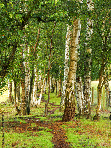 Fototapeta Path through silver birch trees in Skipwith Common National Nature Reserve, Nort