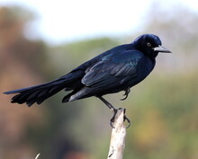 A Male Boat-tailed Grackle Perched On A Dead Branch. Quiscalus Major.