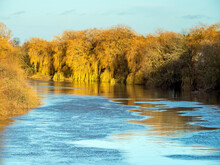 Golden Afternoon Light On Weeping Willow Trees Beside The River Ouse Near York, England, In Winter