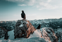 Alpine Crow / Chough On Top Of A Mountain