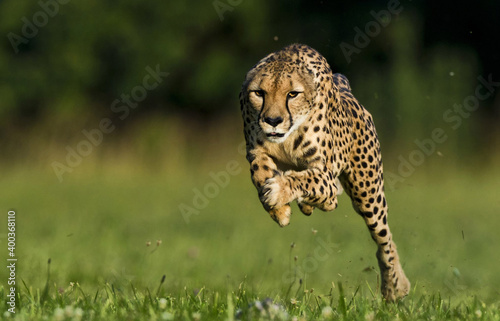 Fotografia Leopard is running and jumping