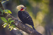 A yellow-headed woodpecker perched on a tree branch