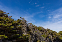 Trees Bent From The Wind Against A Blue Sky In The Falkland Islands