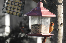 A Female Cardinal, And A Male House Finch, Perched On A Backyard Bird Feeder In Cecil County, Elkton, Maryland.