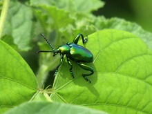 A Dogbane Beetle On A Dogbane Plant In Door County.