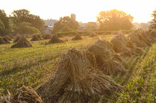 Bunches Of Gathered Wheat At Sunrise