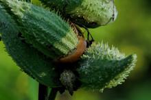 A Slug On A Milkweed Pod