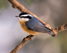 Nuthatch Stock Photos.  Close-up Profile View Perched On A Tree Branch In Its Environment And Habitat With A Blur Background, Displaying Feather Plumage And Bird Tail.  Image. Picture. Christmas Card.