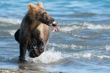 Brown Bear Predates On Salmon, Russia