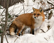 canvas print picture - Red Fox Stock Photos. Red fox close-up profile view in the winter season in its environment and habitat with snow and branches background displaying bushy fox tail, fur. Fox Image. Picture. Portrait.
