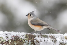 Tufted Titmouse Perched On Log In Winter During Snowfall