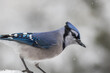 Blue Jay perched in winter with snow falling