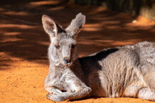 An Australian Kangaroo Lays On Red Sand. The Wild Animal Has Long Tan And Brown Colour Fur, Large Pointy Ears, Long Snout, Dark Eyes, And A Thick Middle Body.  There Are Two Paws In Front Of Its Head.