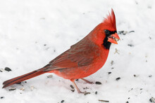 Close Up Of A Male Northern Cardinal In Snow With Bird Seed