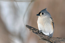 Close Up Of A Tufted Titmouse Perched On A Tree Branch