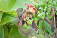 Squirrel On A Banana Blossom