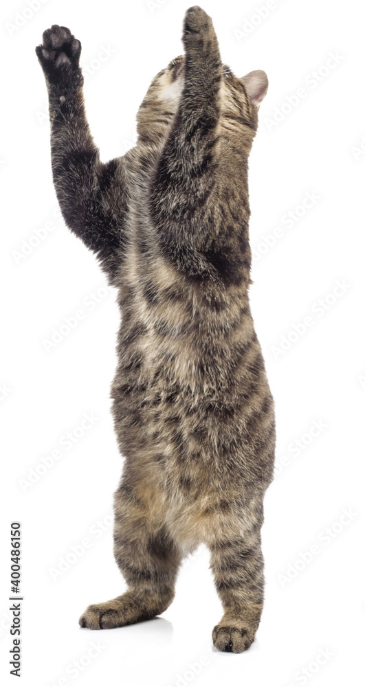 Fototapeta European Shorthair standing on two legs on a white background.