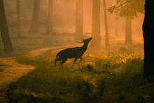 Deer In The Forest, Magical Woos And The Golden Sunrise.