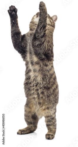 Fototapeta European Shorthair standing on two legs on a white background. obraz