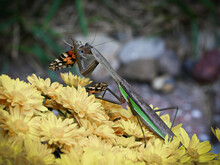 Side View Of A Large Gray And Green Praying Mantis Eating An Orange And Black Painted Lady Butterfly. Beautiful Yellow Chrysanthemums And Soft Blurred Background With Copy Space.