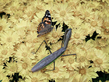 A Large Gray And Green Colored Praying Mantis Watches A Painted Lady Butterfly Drinking Nectar From A Beautiful Yellow Mum.