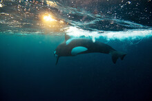 Orca Killer Whale Underwater