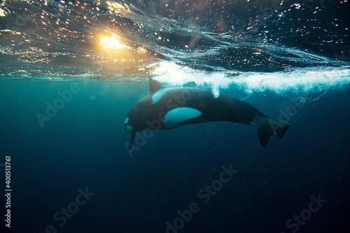 Obraz na plátně Orca killer whale underwater