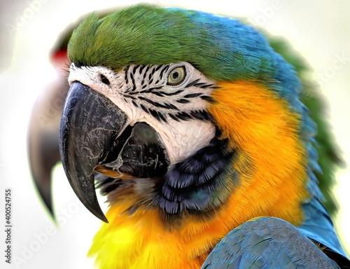 Fotografija Head shot of Yellow-and-blue macaw. Ara ararauna.