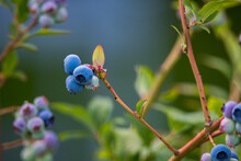 Blueberries On The Bush. Blue And Green Ripening Berries Against The Background Of Leaves And Grass.